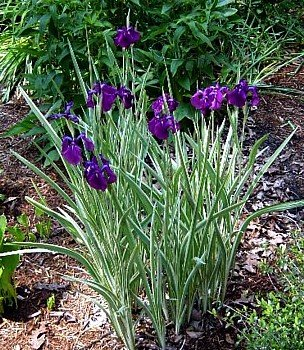 Japanese Iris - 5