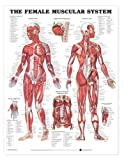 The Female Muscular System Anatomical Chart, Anatomical Chart Company Staff, 1587797305
