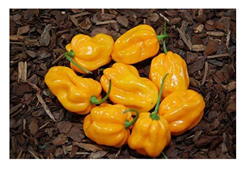 David's Garden Seeds Pepper Hot Orange Scotch Bonnet SL3053 (Orange) 25 Non-GMO, Heirloom Seeds