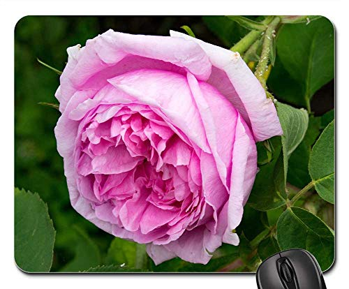 (Mouse Pad - Rose Mme Boll Portland Rose Flowers Pink Blossom)