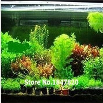 100 semillas de helecho para pecera Java de 22 tipos, planta de acuario de Moss-Live, semillas de plantas Bonsai, envío gratis: Amazon.es: Jardín