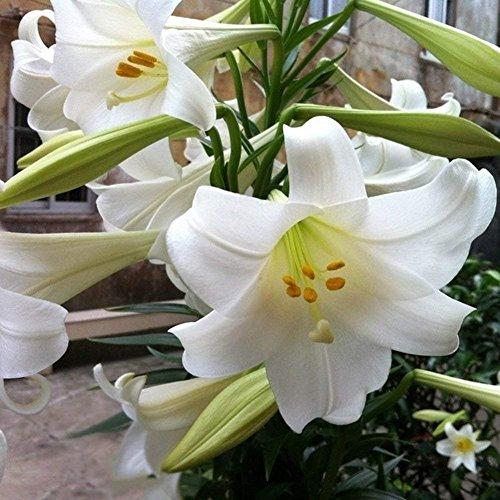 Beautiful White Oriental Lilies (5 Bulbs) - Freshly Bulbs £¬Plant for Garden, Patio, Backyard £¬Blooms Summer (Giant White Calla Lily Bulbs For Sale)