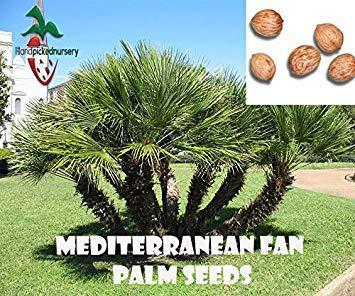 Germination Seeds: 10 Mediterranean Fan Palm Seeds, (Chamaerops humilis) from Hand Picked - Palm Fan Mediterranean