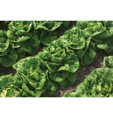 David's Garden Seeds Lettuce Buttercrunch D435A (Green) 1000 Organic Seeds