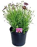 Coreopsis LI'L Bang 'Starstruck' (Tickseed) Perennial, Pink & Lavender Flowers, 2 - Size Container