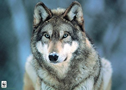Pyramid America Grey Wolf Nature Photograph Poster 36x24 inc