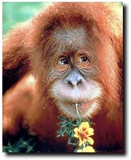 PHOTOGRAPH ANIMAL BABY BONOBO CHIMP CHIMPANZEE YOUNG ART PRINT POSTER MP3896A