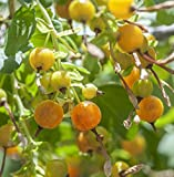 Earthcare Seeds Golden Currant 50 Seeds (Ribes aureum)