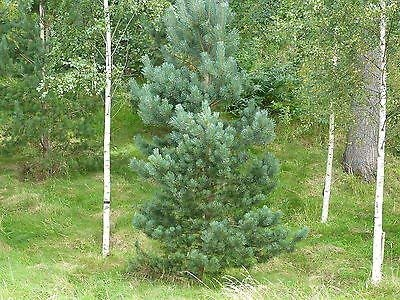 3 Scots Pine Trees 2ft Tall, In 2L Pots, Native Evergreen, Pinus Sylvestris 3fatpigs beechwoodtrees 3fatpigs®