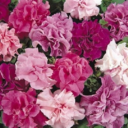 (Petunia Double Cascade Mix 40 Pelleted Seeds)