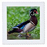 3dRose Danita Delimont - Ducks - Wood Duck Drake perched on a log - 16x16 inch quilt square (qs_258084_6)