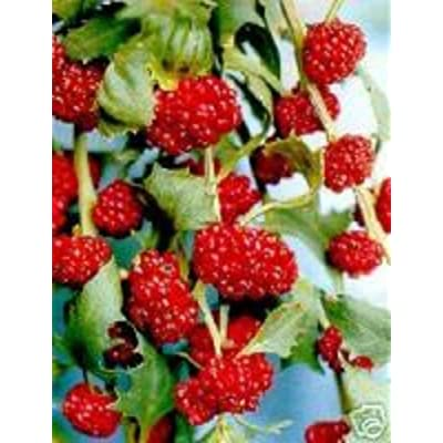 200 Organic Strawberry Spinach Seeds Rare Exotic Fruit and Greens : Garden & Outdoor