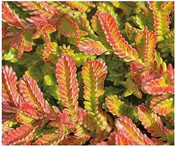 Shrub 3 PACK Bog Rosemary Andromeda Ericaceae 9cm Pots Compacta Low Growing Dwarf Evergreen Garden Plant
