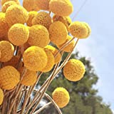 Tyoungg Natural Dried Craspedia Yellow Billy Balls Dried Flowers For Wedding Bouquet Decor Christmas Wreath DIY 20 Stems