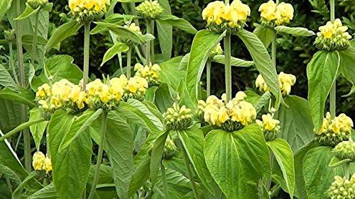 phlomis russeliana -Jerusalem sage-Creamy Yellow Flowers- 15 Seeds