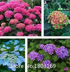 2016 Semillas de flores, hydrangea Hortensia semillas 200PCS mezcla de semillas de plantas de jardín bonsai Fort Viburnum, semillas de bonsái envío libre Mi