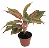 "Siam Aurora Chinese Evergreen Plant - Aglaonema - Grows in Dim Light - 4"" Pot"