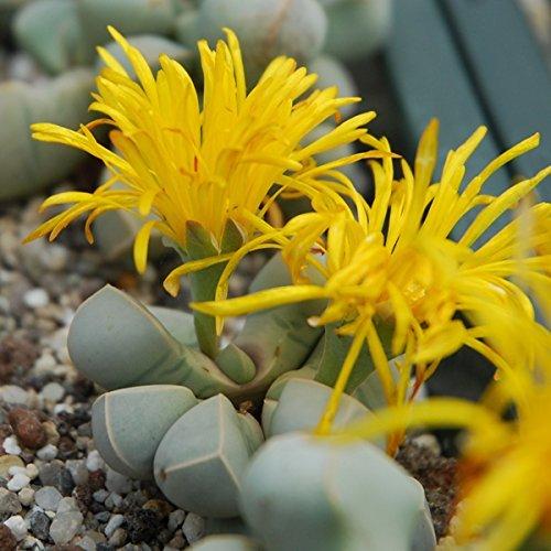 Lapidaria margaretae - Lithops - Living Stones - 20 seeds CactusPlaza.com