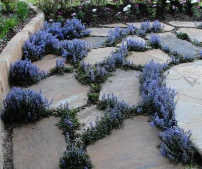 Classy Groundcovers - Bugleweed 'Chocolate Chip' 'Valfredda', A. tenorii {25 Pots - 3 1/2 in.} by Classy Groundcovers (Image #5)