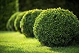 Japanese Boxwood - 10 Live Plants - 2'' Pot Size - Buxus Microphylla - Fast Growing Cold Hardy Formal Evergreen Shrub