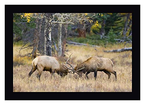 CO, Rocky MTS, Moraine Valley Bull elks Sparring by Fred Lord - 24
