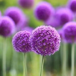 Ncient 10/20/50/100 Semi Sementi di Allium Giganteum Semi di Fiori Rari Piante Profumati per Orto Giardino Balcone Interni ed Esterni 9 spesavip