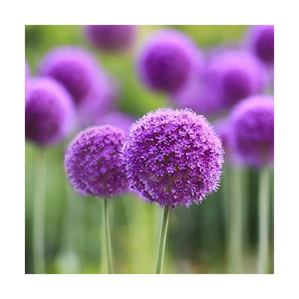 Ncient 10/20/50/100 Semi Sementi di Allium Giganteum Semi di Fiori Rari Piante Profumati per Orto Giardino Balcone… 1 spesavip