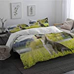 GLDirect Alaskan Malamute Duvet Cover Size 3 Piece Klee Kai Puppy Sitting on Grass Looking Up Friendly Young Cute Animal Extra Soft Deep Pockets Multicolor Queen Size 5