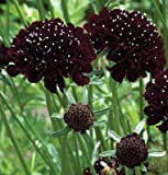 David's Garden Seeds Flower Scabiosa Black Knight OY1724 (Black) 50 Non-GMO, Open Pollinated Seeds