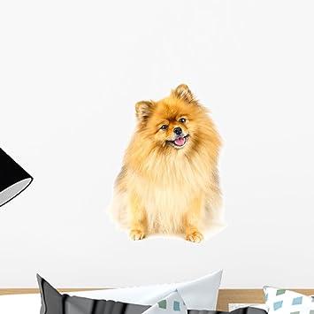 Amazon Com Pomeranian Dog Sitting Floor Wall Mural By Wallmonkeys