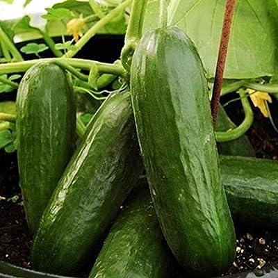 Picolino F1 Hybrid Cucumber Seeds (100 Seeds) : Garden & Outdoor