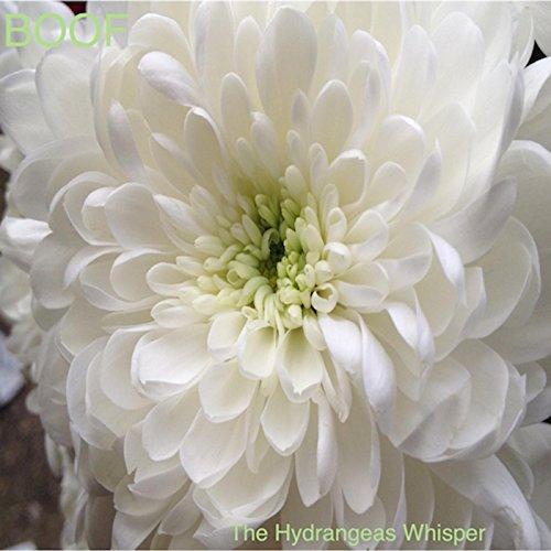 The Hydrangeas Whisper
