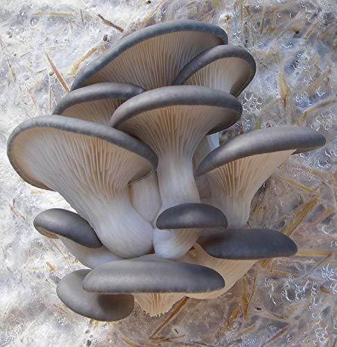 Spores Oyster Mushroom Veshenka Mycelium Spawn Dried Seeds Kit for Planting Non GMO 0.5 oz