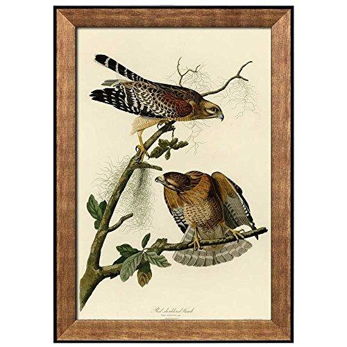 Beautiful Illustration Inside of an Elegant Frame of a Red shouldered Hawk by John James Audubon Framed Art