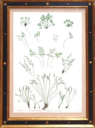 Plate 41 - Asplenium Ruta-muraria, A.germanicum, A.septentrionale (pressed nature print of ferns)