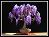 Jacaranda Mimosifolia - 60 Bonsai Seeds - Tree