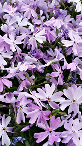 Emerald Blue Creeping Phlox (1 Order Contains 2 Potted Plants)