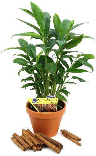 Zimt-Aroma, Elettaria cardamomum, 2 Pflanzen