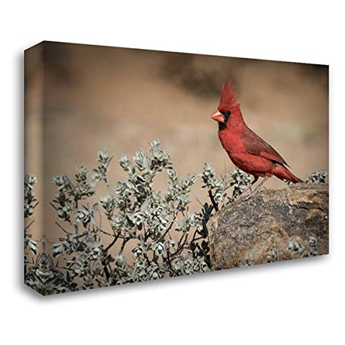 Rocks Cardinals Arizona - Arizona, Amado Male Northern Cardinal on Rock 38x27 Gallery Wrapped Stretched Canvas Art by Kaveney, Wendy