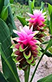 10 pcs/bag Thailand curcuma seeds,also called Siam Tulip seeds,rare flower seeds a member of the Zingeraceae family garden plant 6