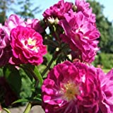 Perennial Blue® ADR Kletterrose Ramblerrose