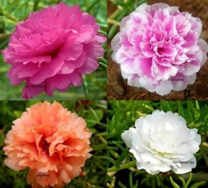 Amazon moss rose double flower mix seeds yellow pink white red moss rose double flower mix seeds yellow pink white red xeriscape flowers 8000 seed mightylinksfo