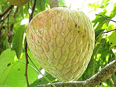 Jamaican Custard Apple Tree (10 Seeds) AKA bullock's Heart,Jamaican Apple