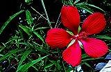 New Red TEXAS STAR HIBISCUS Coccineus Scarlet Rosemallow Hummingbird Flower 10+ Seeds