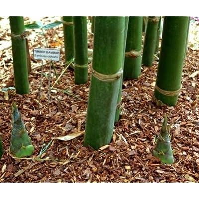 100 Timber Bamboo Seeds - Bambusa Oldhamii : Garden & Outdoor