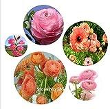 chokdee shop Plants Seeds & Bulbs