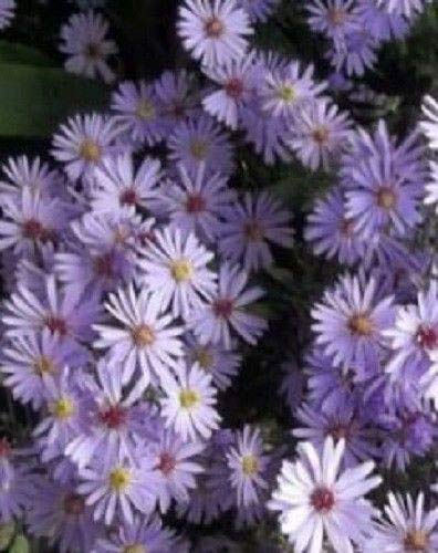 Aster 'Little Carlow' Michaelmas Daisy (Sent in 9cm pots) Hot Plant Company