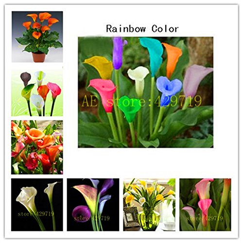 Brend New!!! 200/bag rainbow calla lily seeds flower lily seeds Rare Plants Flowers Seed for Home gardening DIY easy grow best gift for (Best Diy Gifts)