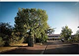 Media Storehouse A1 Poster of Queensland Bottle Tree (Brachychiton rupestris) (19203696)
