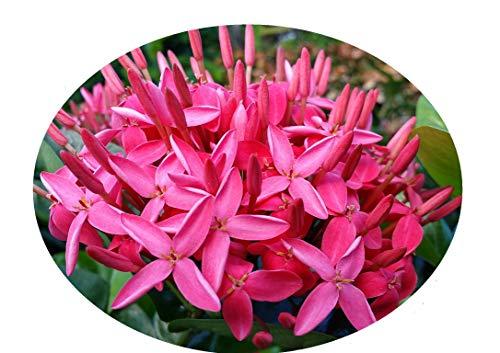 Best indoor flowering plants -Ixora Plant